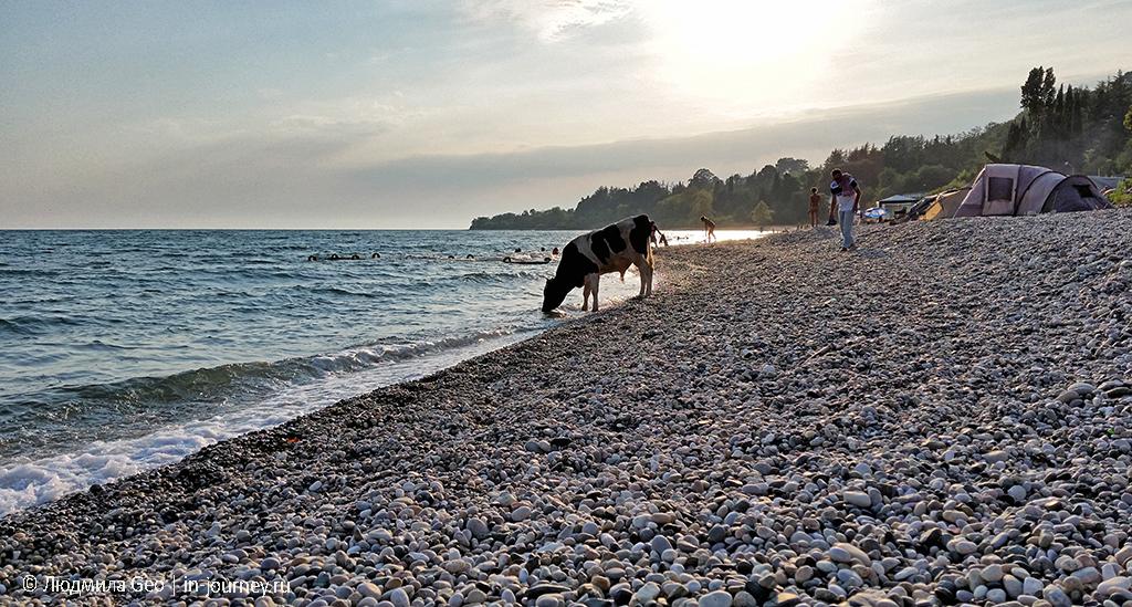 бык на пляже в Абхазии
