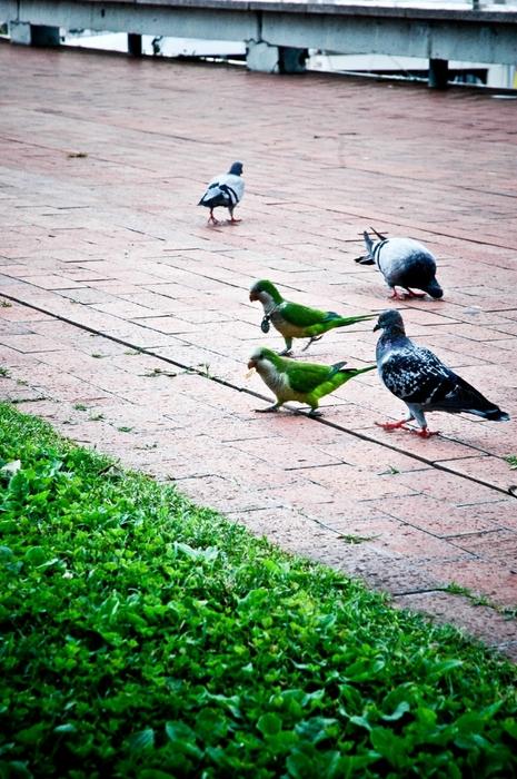 Попугаи Барселоны