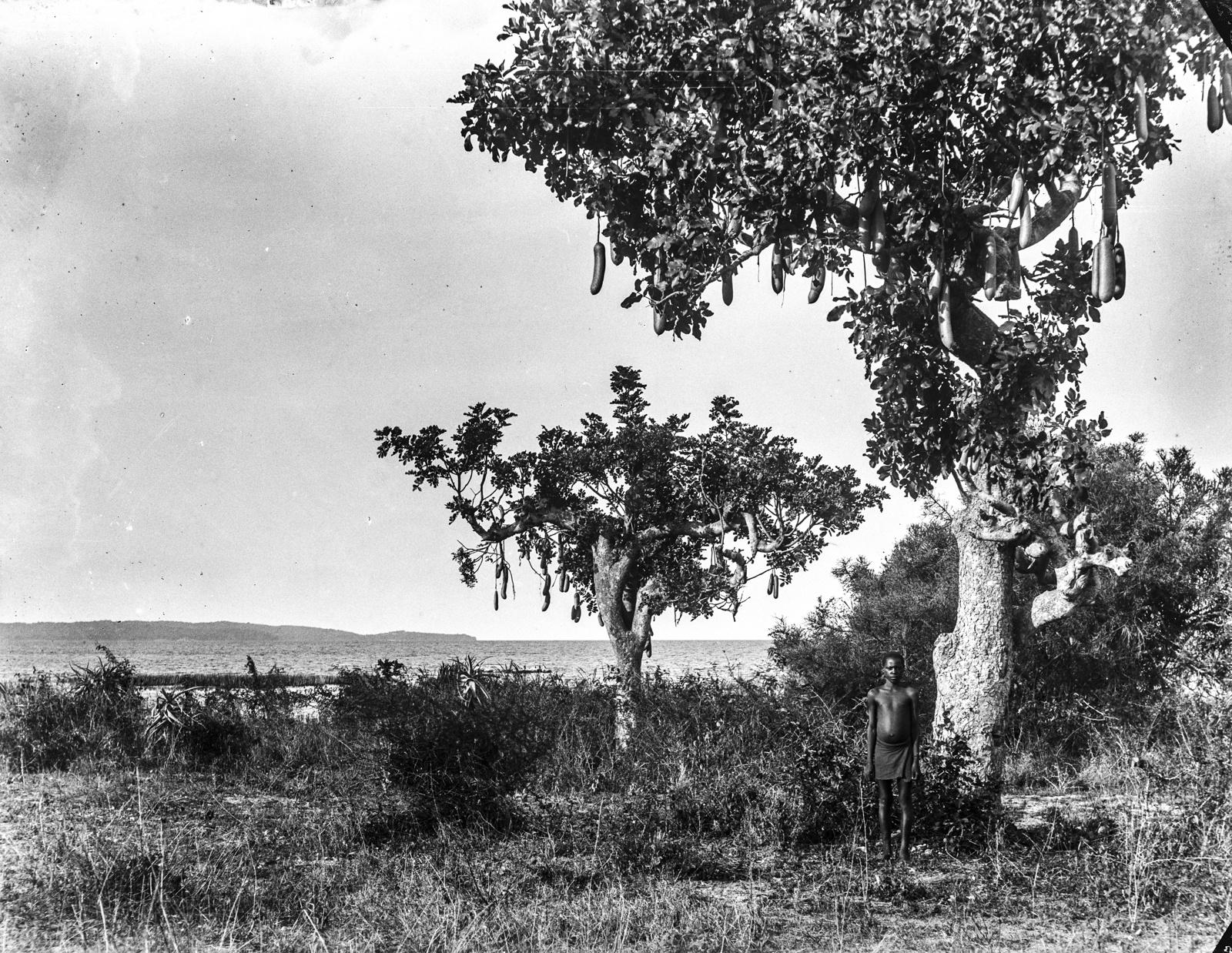 165. Два Колбасных дерева (Kigelia africana) возле озера Виктория