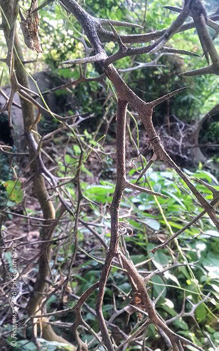 флора Абхазии: колючие растения