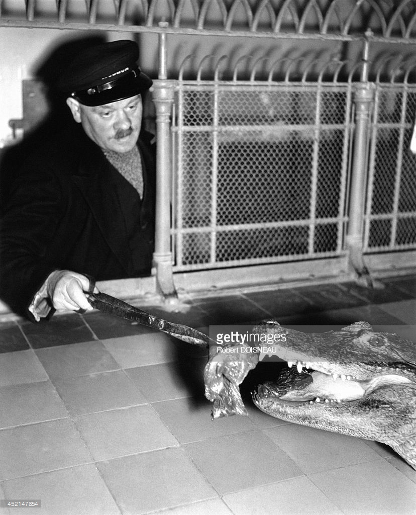 1943. Национальный музей естествознания. Зверинец ботанического сада. Кормление аллигатора. Париж