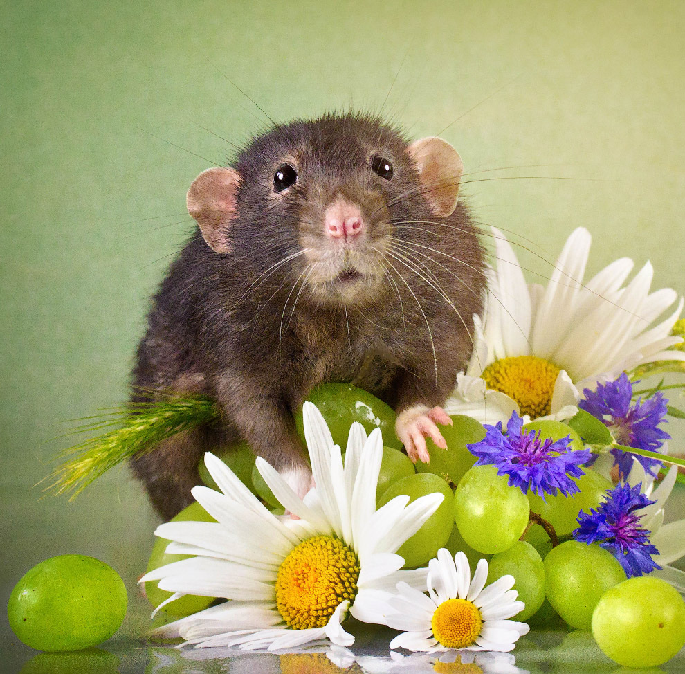 HD животные мыши