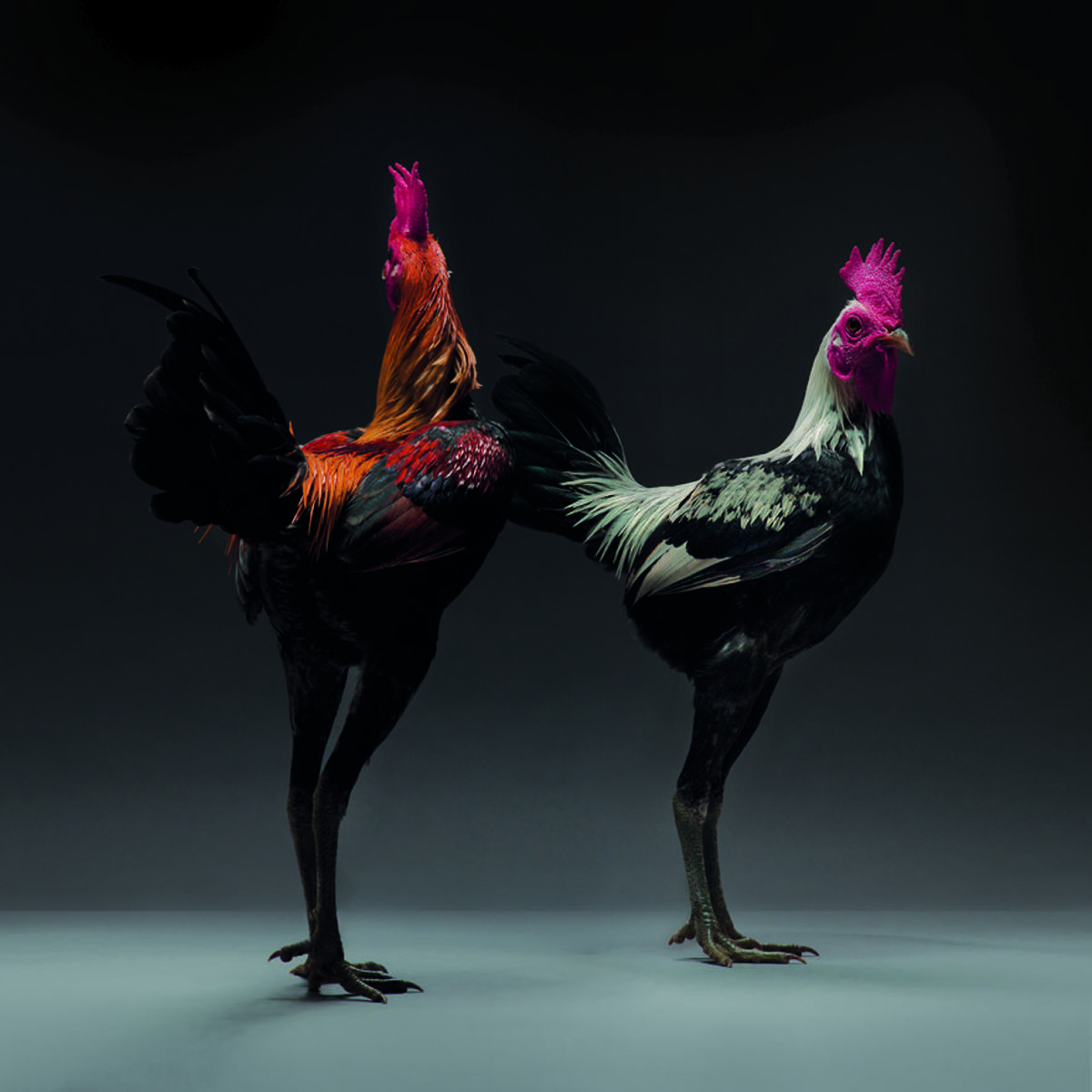 Dazzling Chickens Strut for the Camera in a New Photo Book by Moreno Monti and Matteo Tranchellini