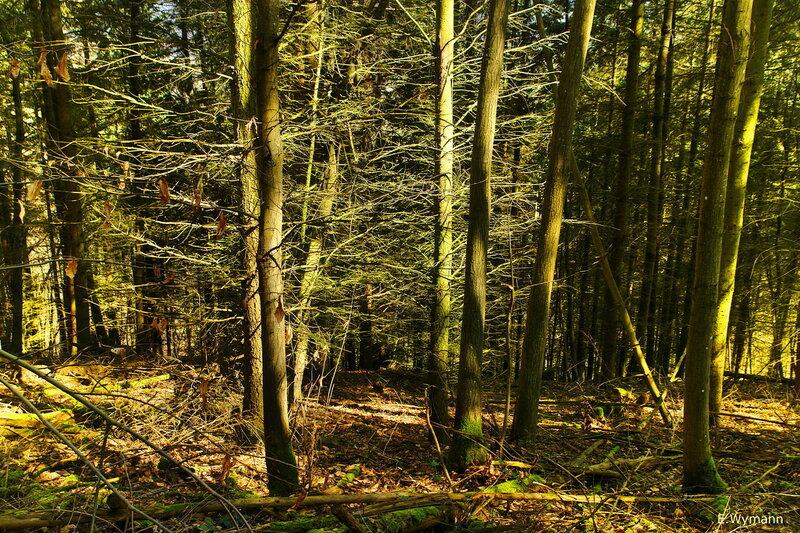 кикимор лес