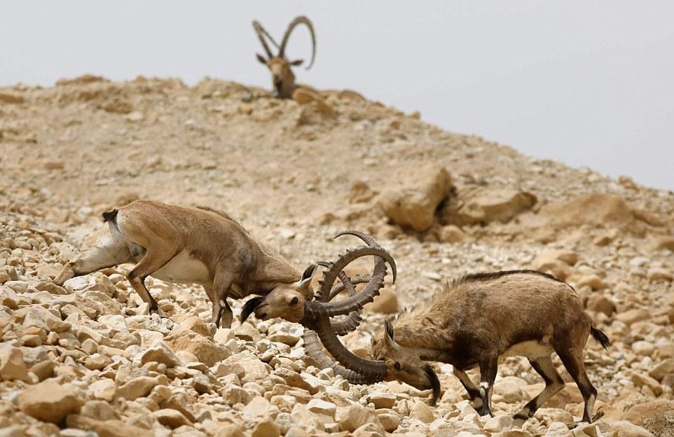 Схватка нубийских горных козлов за внимание самки