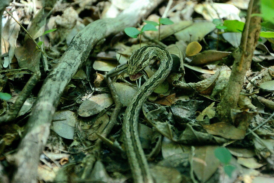 Змея ест ящерицу