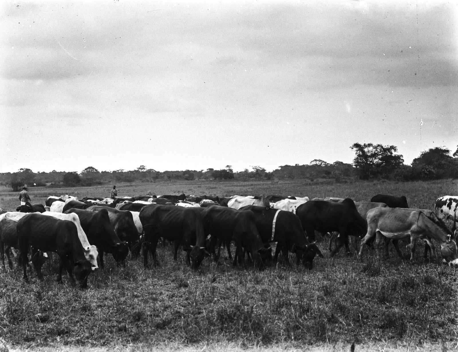227. Два пастуха со стадом
