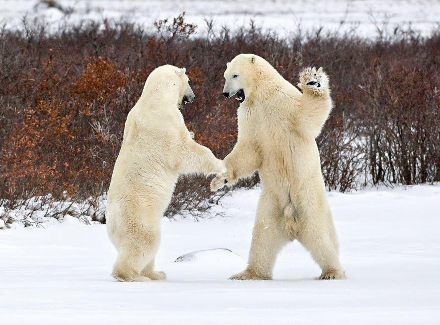 Международный день полярного медведя. Разговор по душам