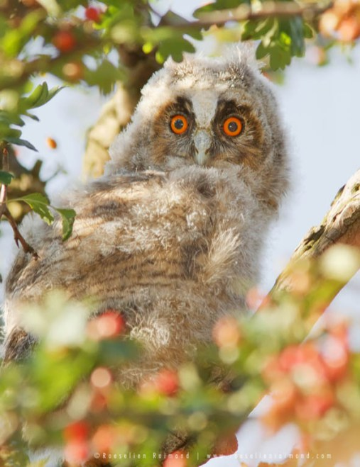 long_eared_owlet.jpg