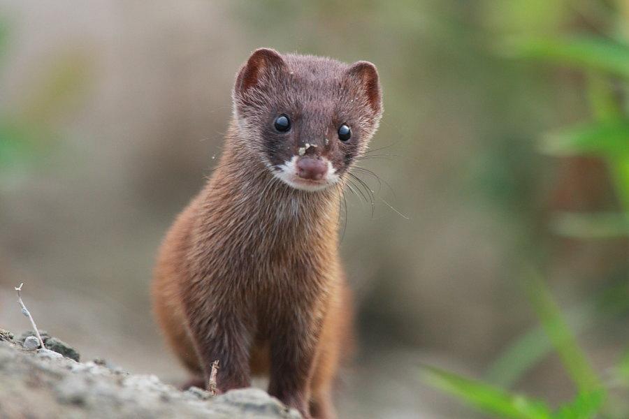 Бабирусса Бинтуронг Гаур природа редкие животные существа Харза