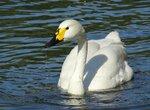 Лебедь в пруду плавает ходко