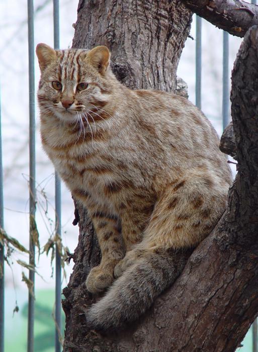 Перед вами амурский лесной кот