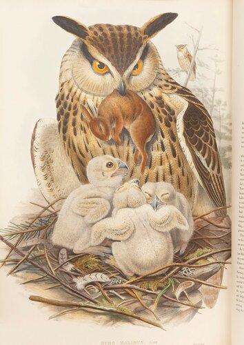 Гульд. Птицы Великобритании.jpg