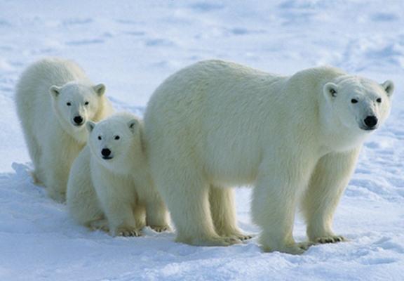 День белого медведя. Медведица с медвежатами