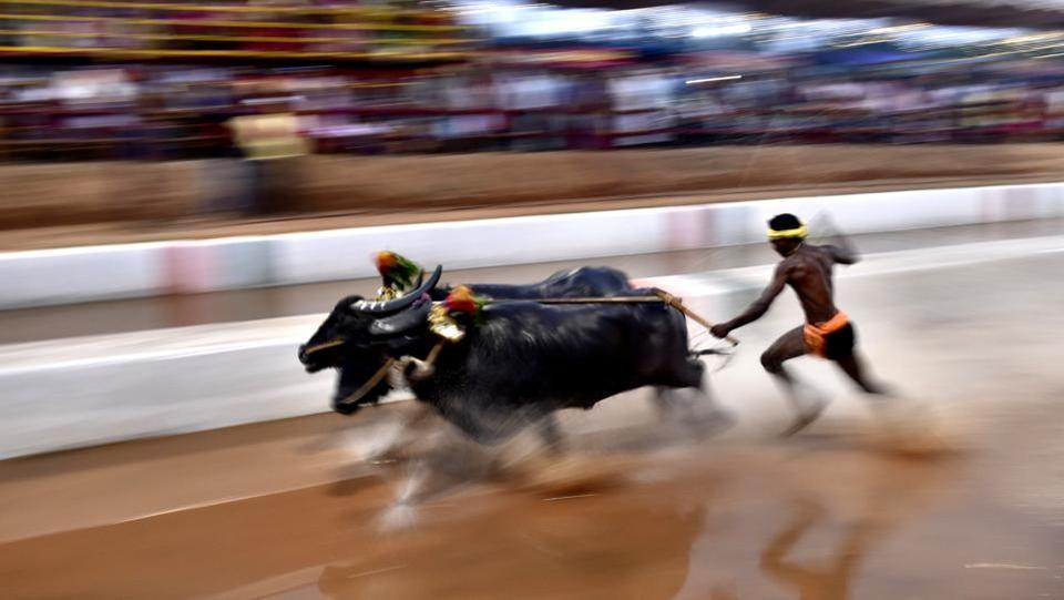 Ежегодные гонки на буйволах в Индии (10 фото)