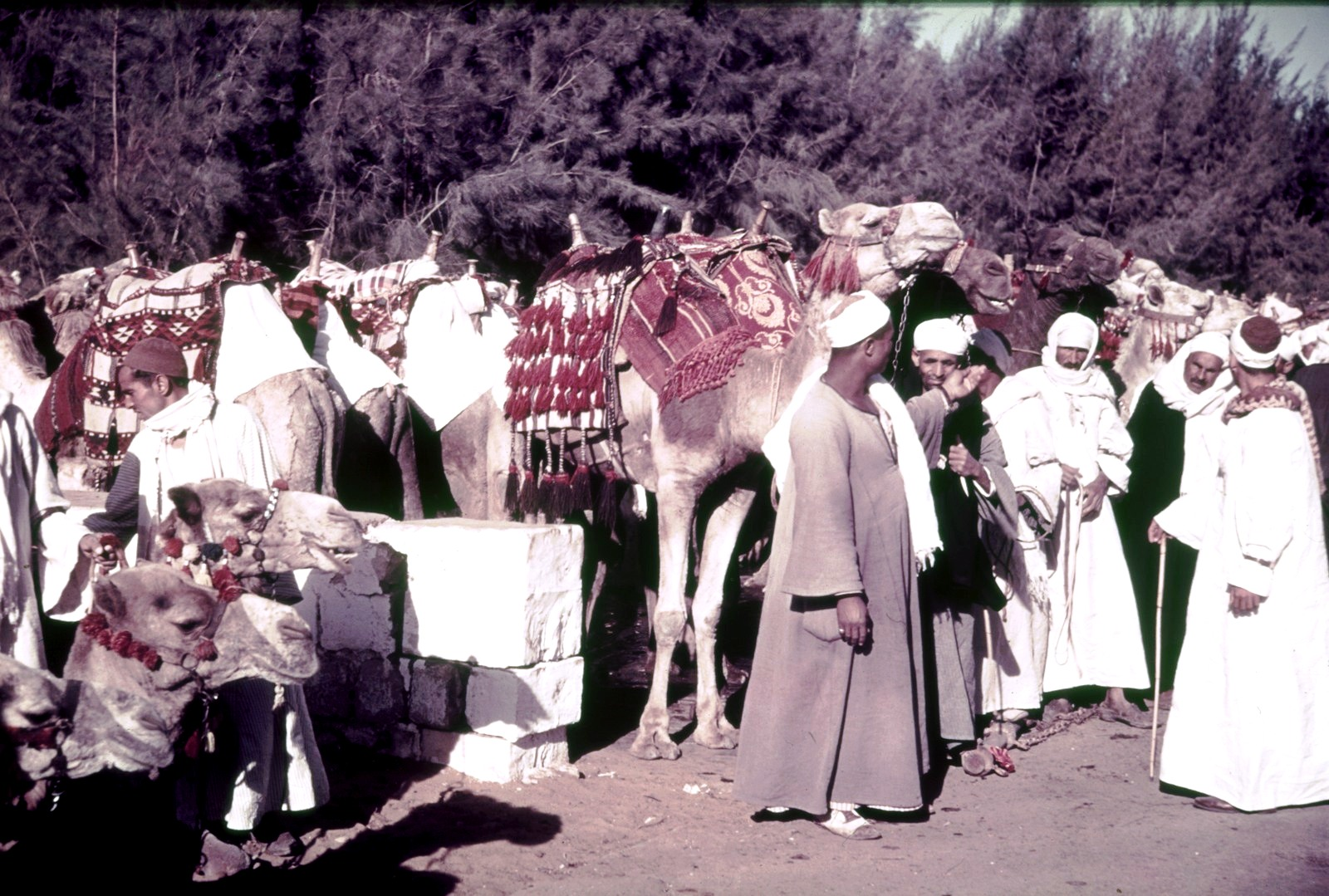 Верблюды с погонщиками
