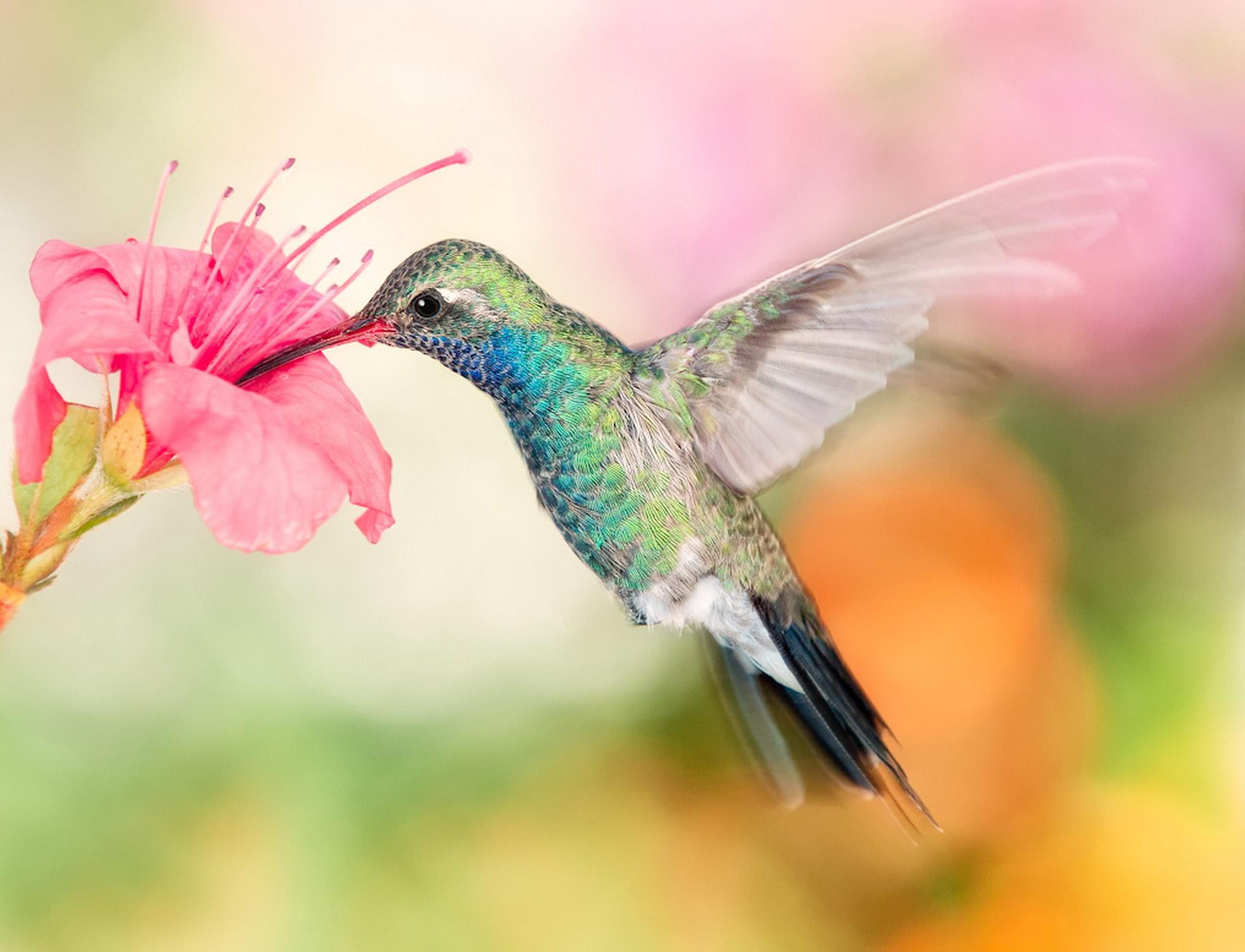 Ніжна птах