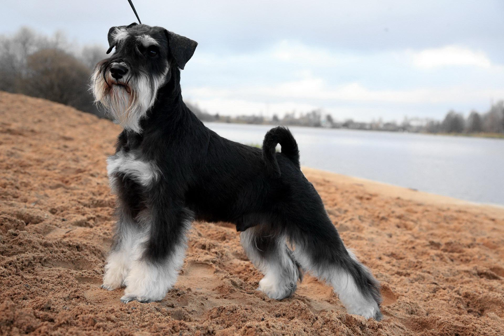 Рішучий пес