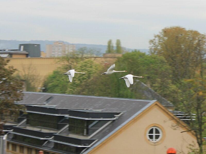 Мец. Летящие гуси
