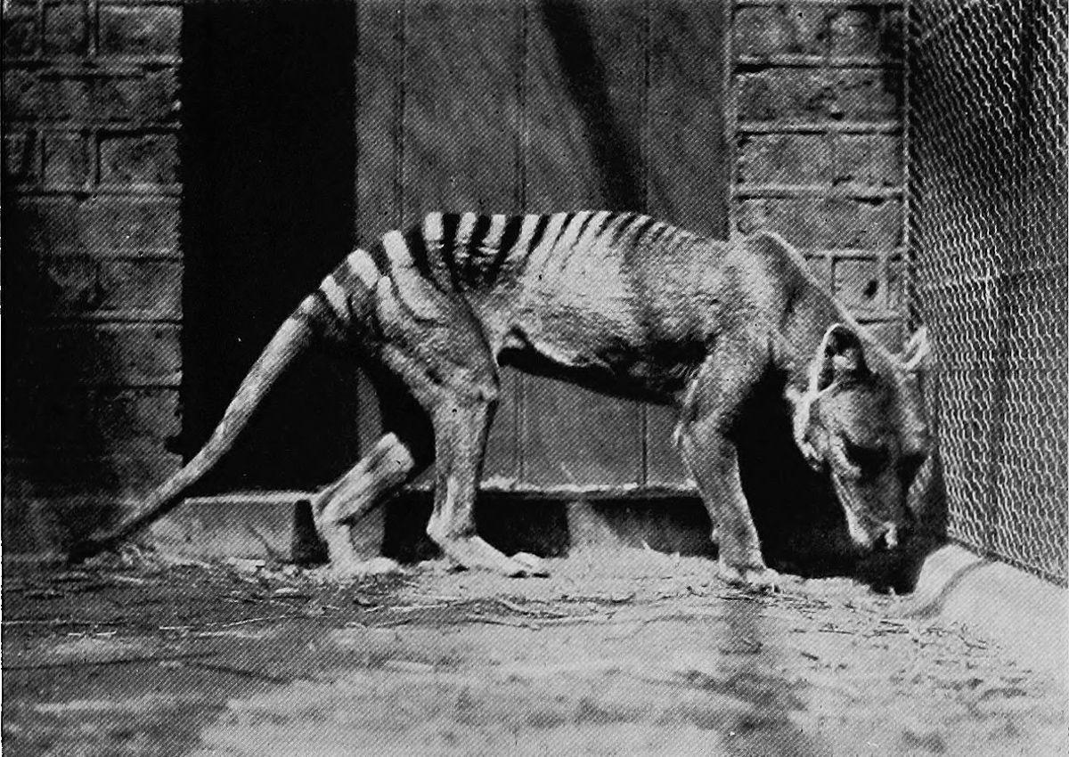 1933 год. Один из последних пленённых сумчатых волков в зоопарке Хобарта.