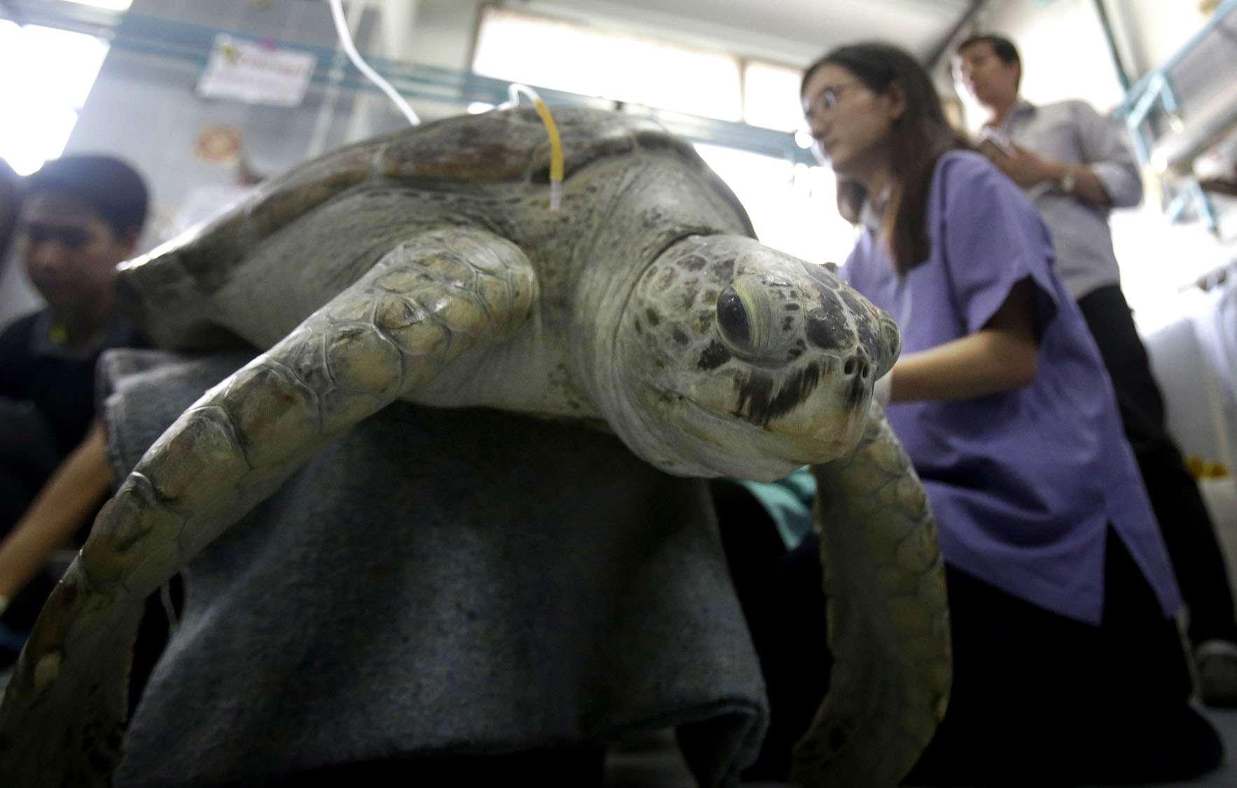 Ветеринары решили дать черепахе кличку Омсин, что в переводе с тайского языка означает «копилка».