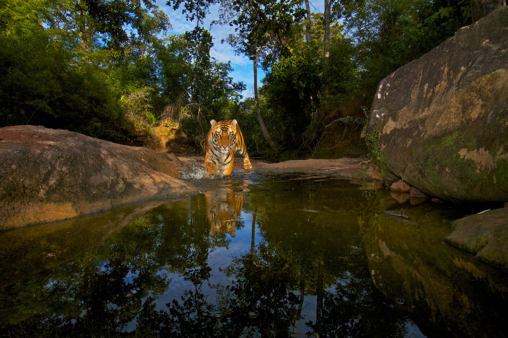 2. Тигры в лесу.