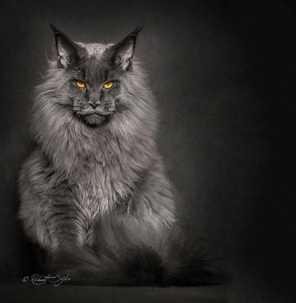 5. Это крупные кошки — отдельные особи достигают 15 килограммов в весе. Максимальная зарегистри