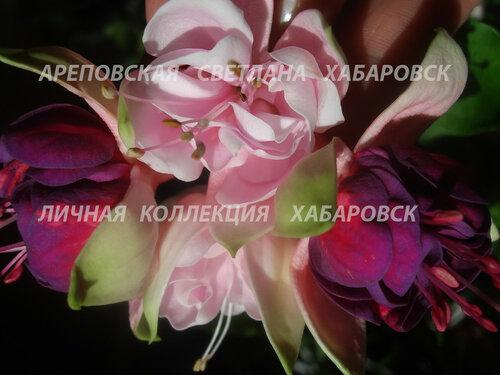 НОВИНКИ ФУКСИЙ. - Страница 5 0_15d5c3_9f555718_L