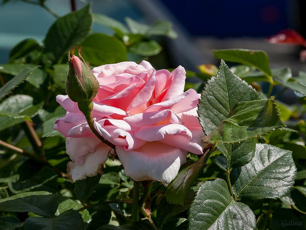 Роза с бутоном