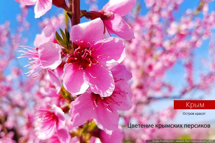 Как цветут персики в Крыму (19 фото)