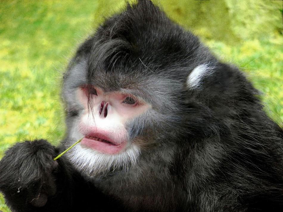 У этих обезьян, открытых в 2010 году, очень странное строение носа. Во время дождя вода попадает ей