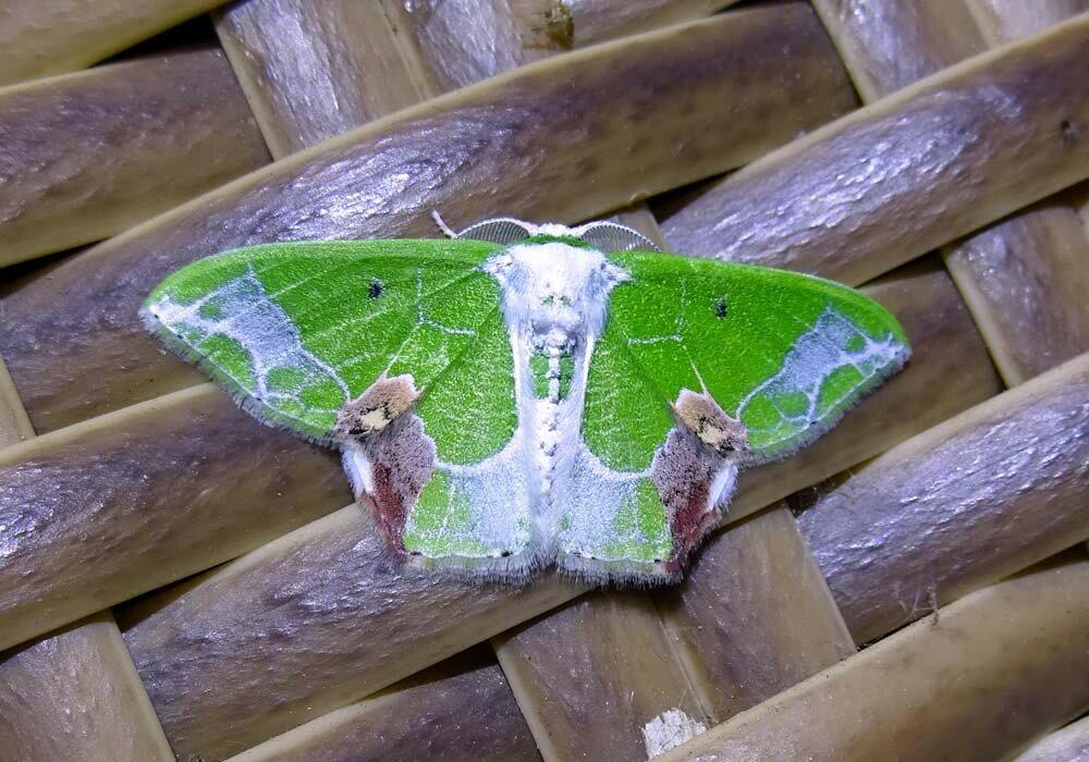 Бабочка Суматры