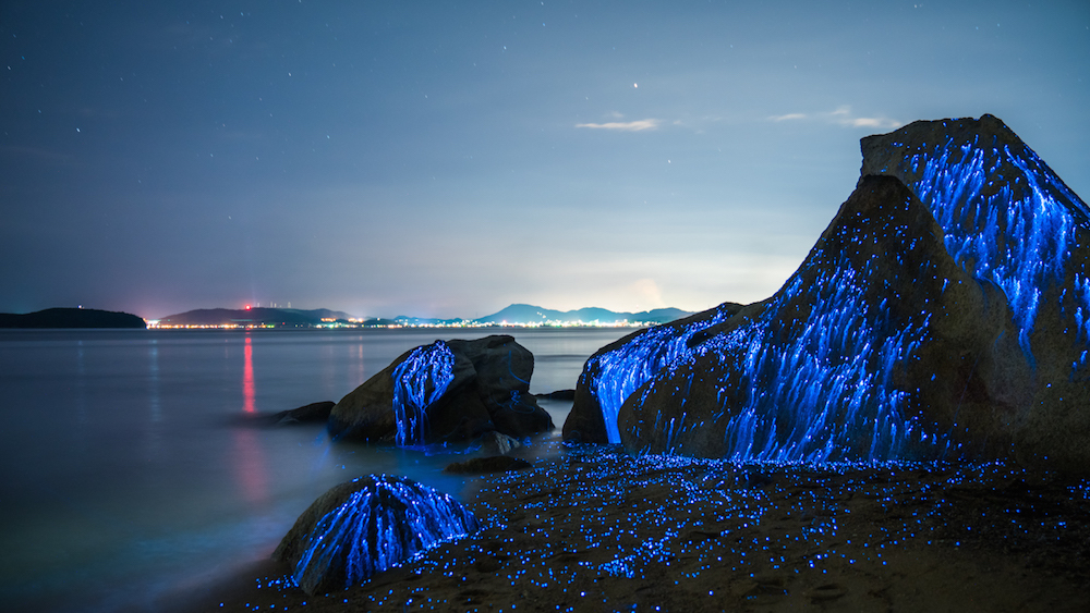 Blue Rivers of Bioluminescent Shrimp Trickle Down Oceanside Rocks in Okayama, Japan