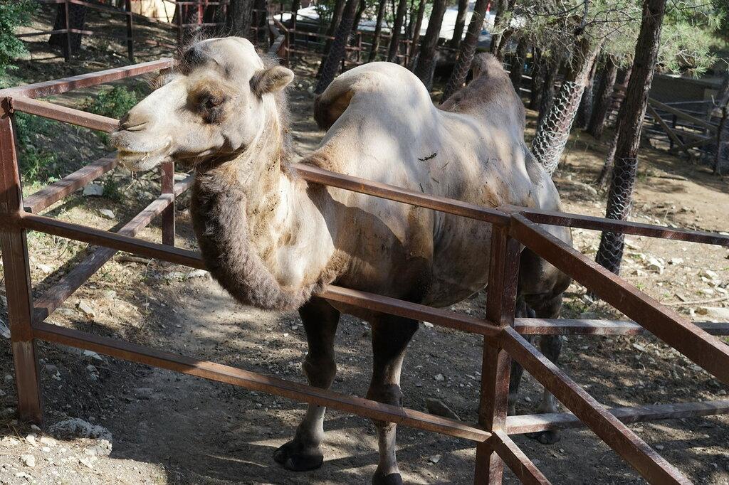 Верблюд в зоопарке. Сафари-парк, Геленджик.