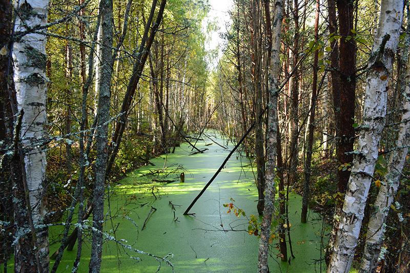 мой лес 16 болото 2.jpg