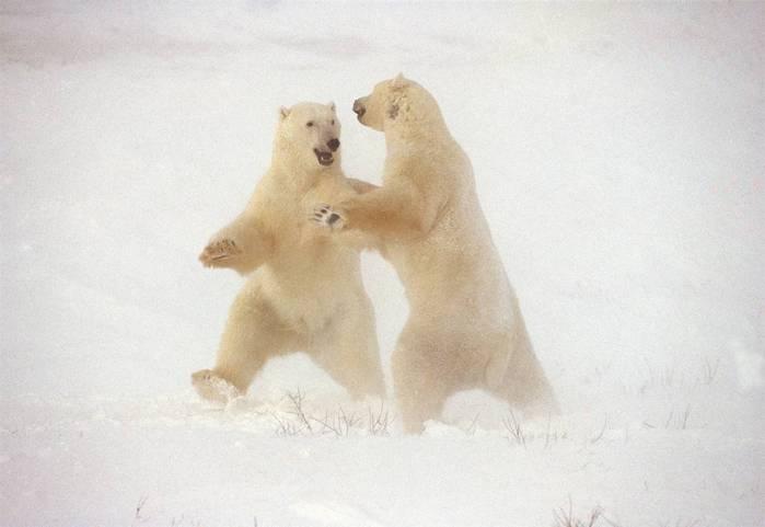 День полярного медведя. Встреча