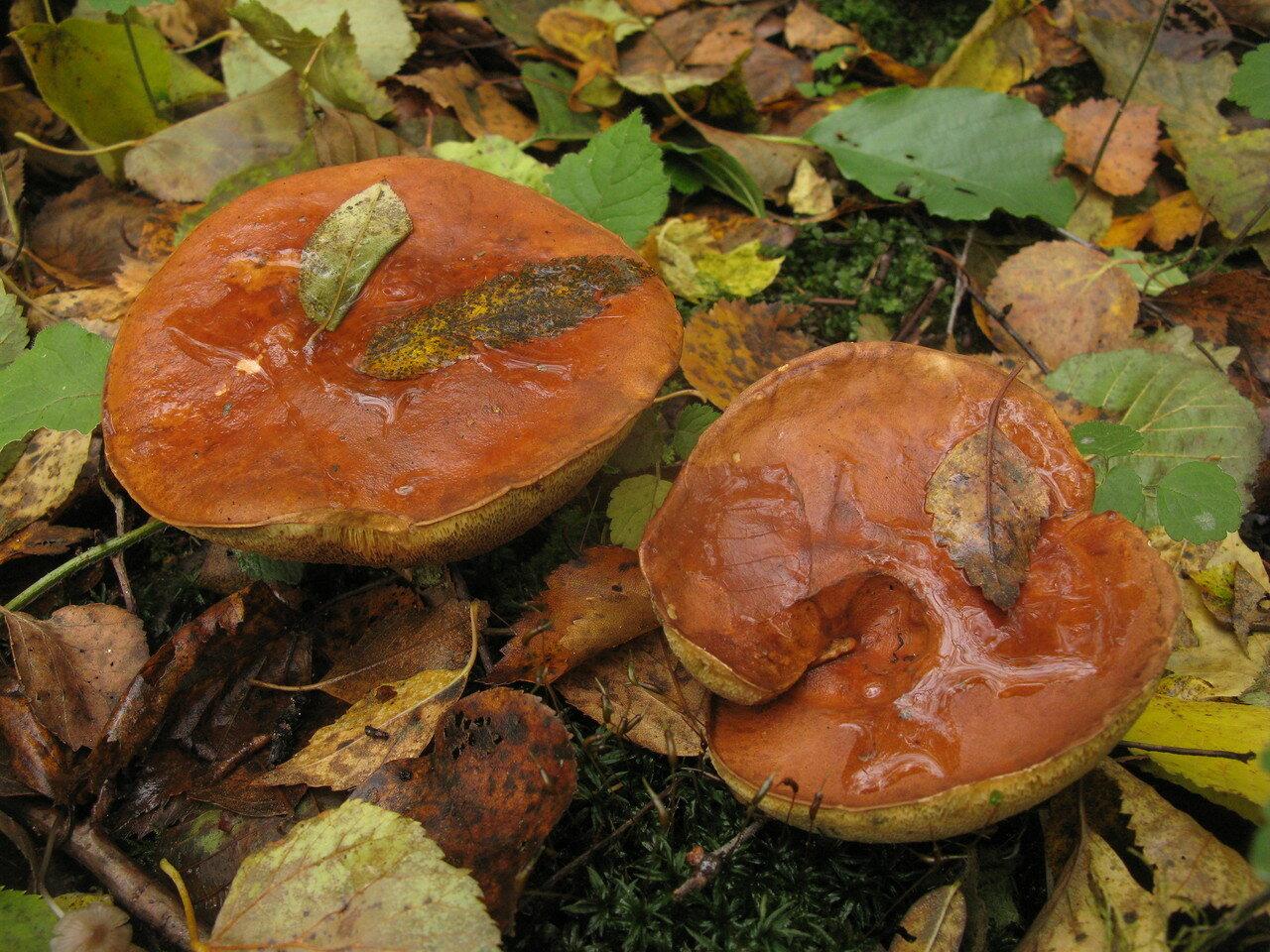 Польский гриб (Imleria badia) Автор фото: Станислав Кривошеев