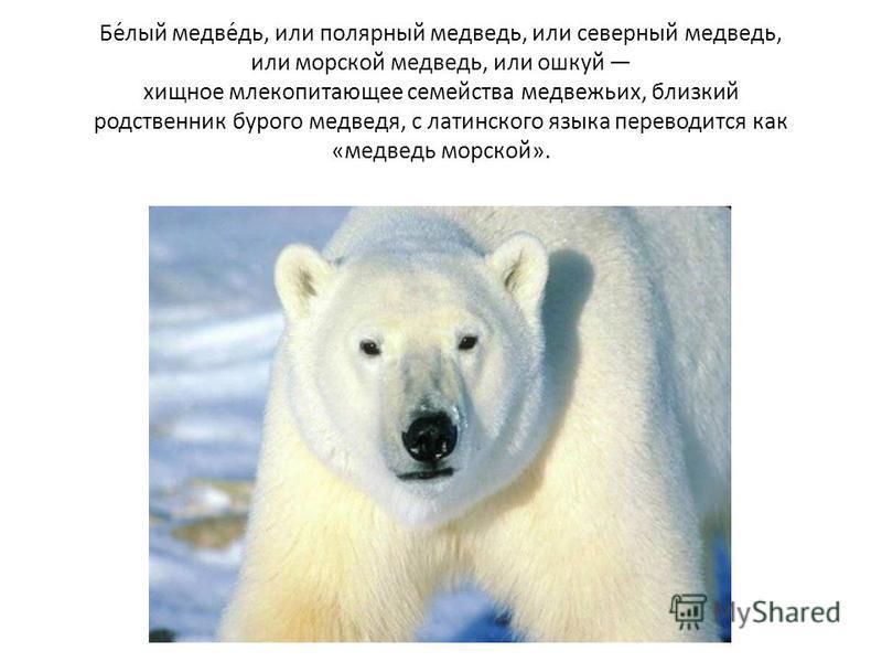 Международный день полярного  белого медведя