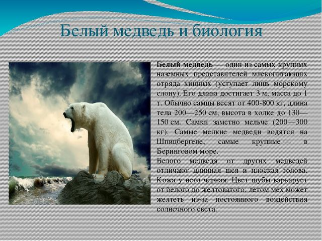 Международный день полярного медведя. Крупный зверь