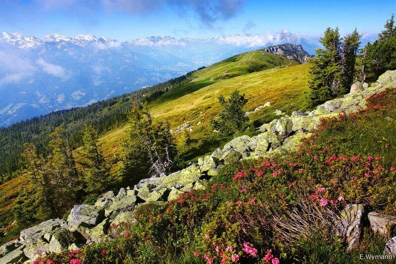 звезды лета - альпийские розы