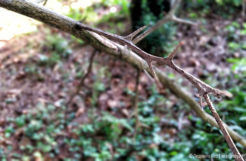 шипы на деревьях в Новом Афоне