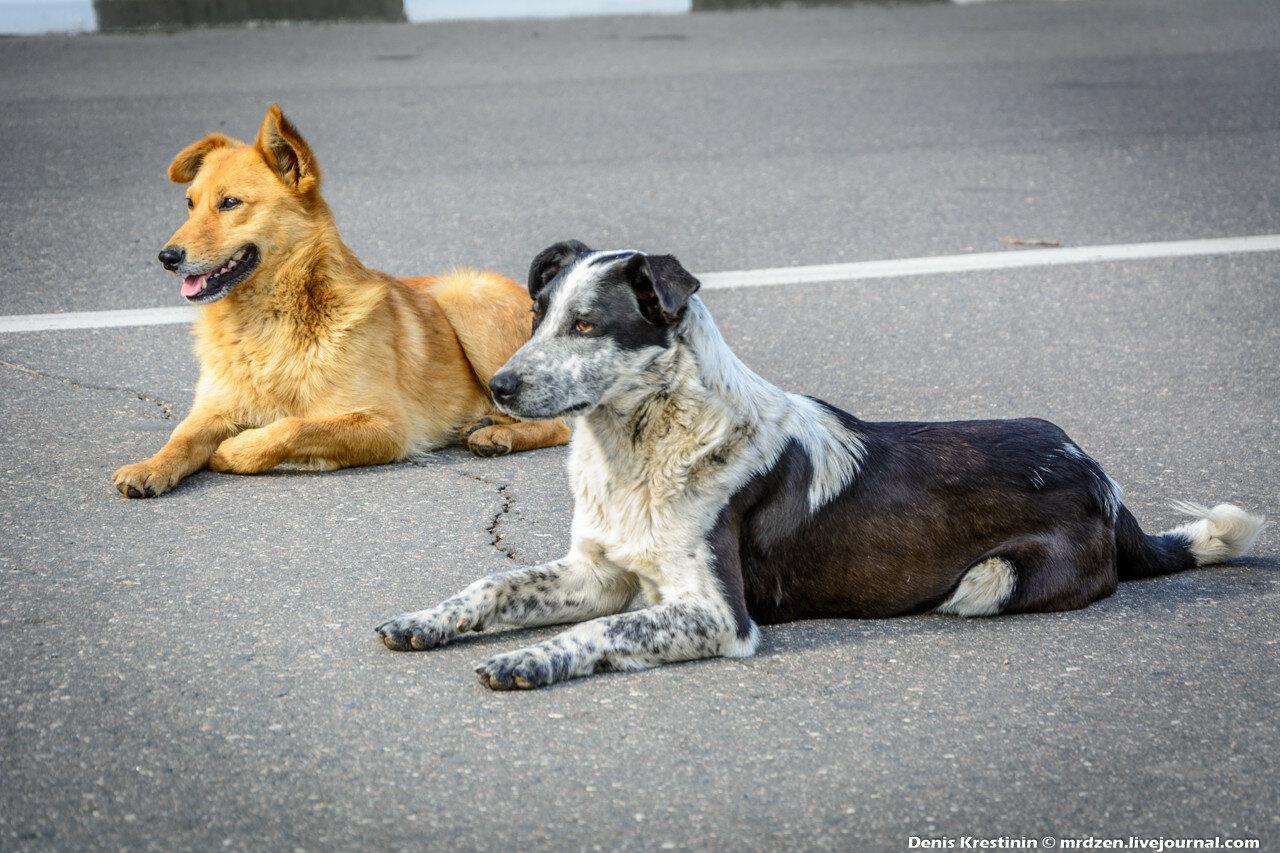 Полоцк. Собаки, на асфальте лежаки