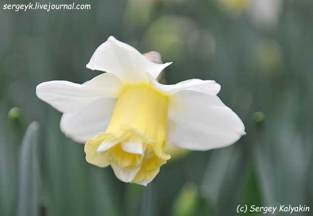 Narcissus Popeye.JPG