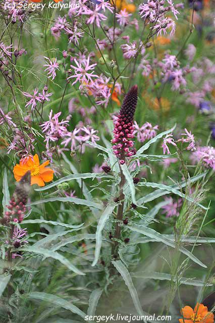 Lysimachia atropurpurea Beaujolais.jpg