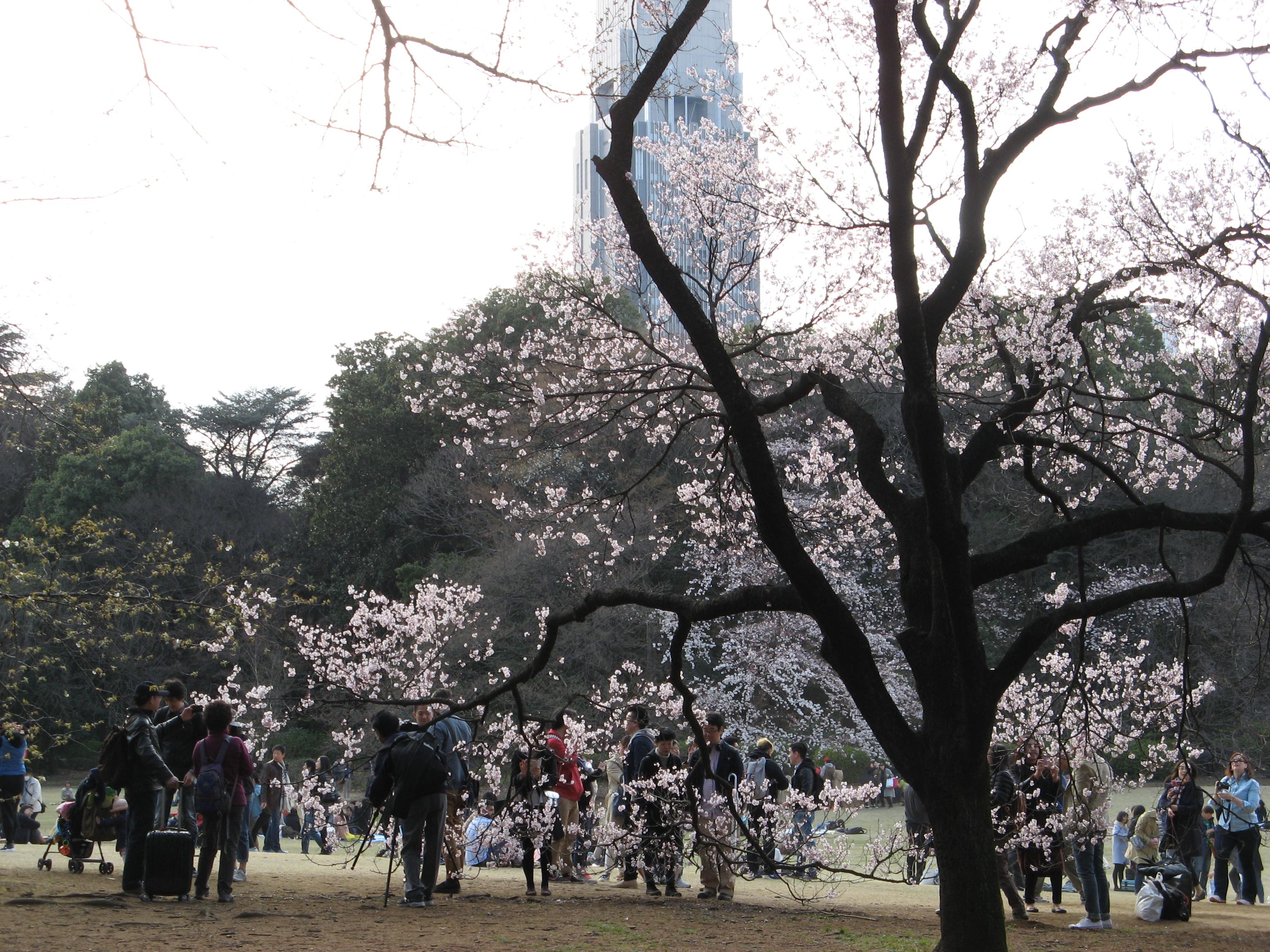 Япония.Ранняя сакура в Синдзюку-гёэн в Токио / Sakura Shinjuku Gyoen Garden inTokyo