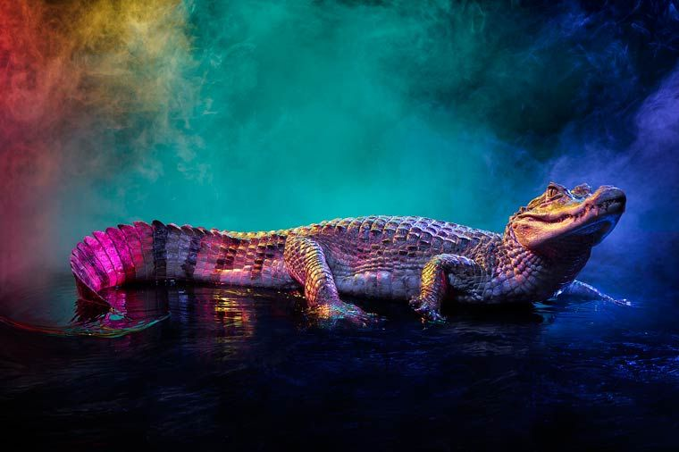 Яркие и красочные фотографии крокодиловых кайманов