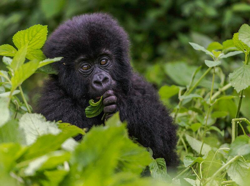 Маленькая горилла в Конго. Автор фото: Reinhard Strickler