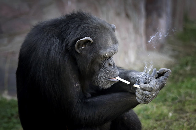 "Azalea, whose Korean name is ""Dalle"", a 19-year-old female chimpanzee, lights one cigarette from ano"