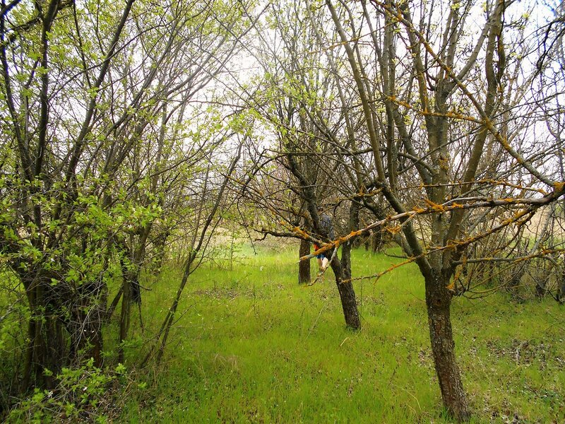 В диком саду... Весна ... DSCN5090.JPG