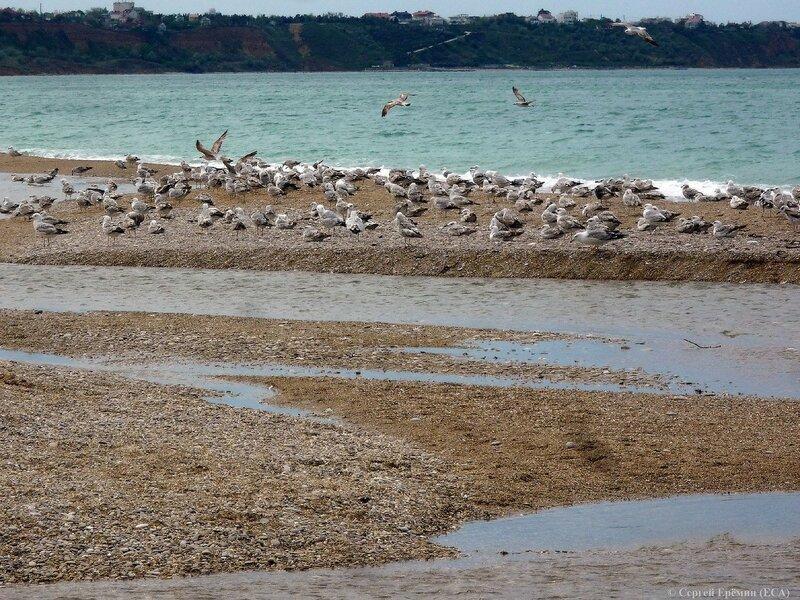 Чайки на косе в устье реки Бельбек